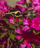 Giant Swallowtails High Springs-5.jpg