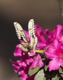 Giant Swallowtails High Springs-6.jpg