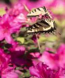 Giant Swallowtails High Springs-7.jpg