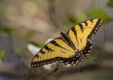 Giant Swallowtails High Springs-8.jpg
