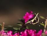 Giant Swallowtails High Springs-9.jpg