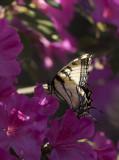 Giant Swallowtails High Springs.jpg