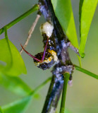 Giant Swallowtails larvae High Springs-2.jpg
