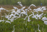 Great Egrets at Sweetwater.jpg