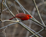 Male Cardinal Alligator Lake.jpg