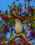 Mockingbird in Holly-Hauge Dairy.jpg