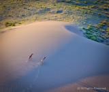 Elk Exiting the Dunes