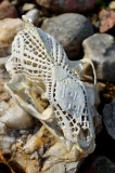 Webbed fisher skull