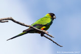 Black-hooded Parakeet