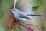 Blue-gray Gnatchatcher