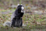Florida (Sherman's)Fox Squirrel