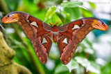 Atlasspinner (Attacus atlas)