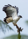 Grey-backed Hawk (Leucopternis occidentalis)