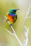 Orange-breasted Sunbird (Anthobaphes violacea)