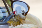 Bennett's Woodpecker vs Car mirror