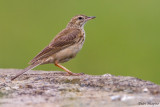 Mountain Pipit (Anthus hoeschi)