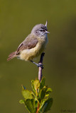 Cape Penduline-tit (Anthoscopus minutus)