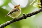 Yellow-throated Spadebill (Platyrinchus flavigularis)