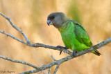 Brown-headed Parrot (Poicephalus cryptoxanthus)