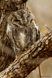 African Scops Owl (Otus senegalensis)