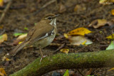 Brown Scrub-robin