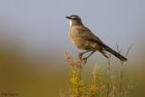 Karoo Scrub-robin