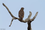 Brown Snake-eagle