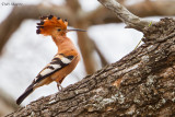 Common (African) Hoopoe