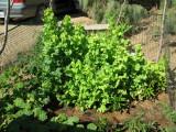 Monster Lettuce