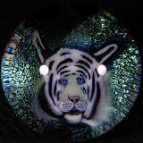 #31: Tiger Monarch Size: 1.37 Price: $325