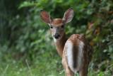 whitetail_deer