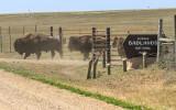 Bison at the entrance in Badlands National Park