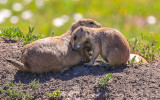 Mother and baby Prairie Dogs outside of their den in Badlands National Park