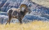 Bighorn Sheep strolls through the tall grass in Badlands National Park