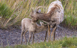 Mother and baby Bighorn Sheep in Badlands National Park