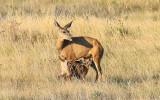 …Baby Whitetail Deer feeding in Badlands National Park