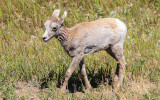 Baby Bighorn Sheep in Badlands National Park