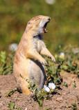 Prairie Dog squeals in Badlands National Park