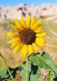 Sunflower in Badlands National Park