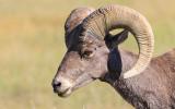 Close up of a Bighorn Sheep in Badlands National Park