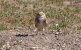 Burrowing Owl on the edge of its den in Badlands National Park…