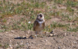 …Burrowing Owl screeches in Badlands National Park