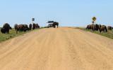 Bison herd along a dirt road in Badlands National Park