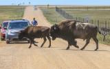 Bison crossing a dirt road in Badlands National Park