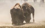 Two Bull Bison joust in Badlands National Park…