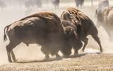 …Bison battle in Badlands National Park…