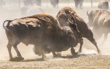 …A powerful fight between two Bull Bison in Badlands National Park…