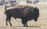 …The alpha male Bison oversees the herd in Badlands National Park