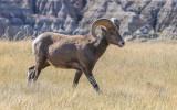 A Bighorn Sheep walks through the tall grass in Badlands National Park