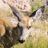 Close up of a Whitetail Deer in Badlands National Park